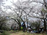 光城山(ひかるじょうやま)山頂でお花見♪