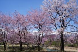 大出公園の桜