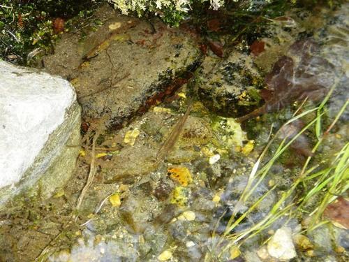 岩魚の稚魚