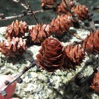 カラマツの実はバラの花のような形