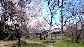 大出公園の桜はまだ一分咲き