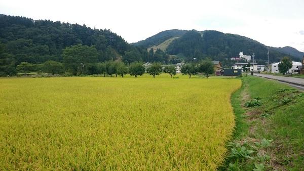 田んぼの実り(春木場から旧ハイランドスキー場方面)