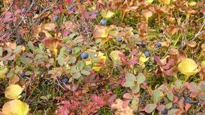 湿原にはたくさんのブルーベリー(クロマメノキ)♪