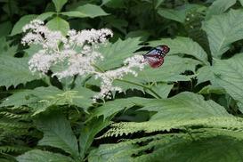 ヤグルマソウと、渡り蝶で知られるアサギマダラ