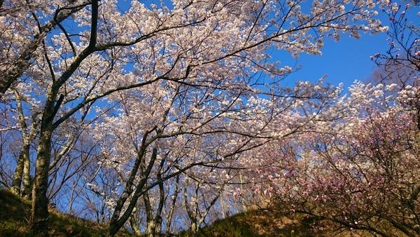 光城山の桜 遊歩道から見上げる