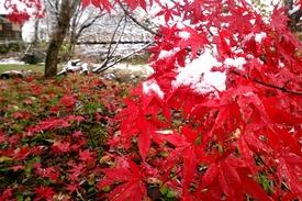 紅葉のイロハモミジ