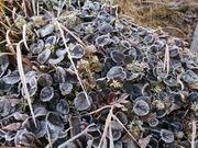 霜がおりたイワカガミの葉っぱ