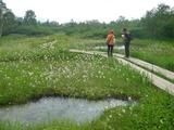 湿原を白くするほどのワタスゲ