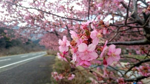 ピンクがきれいな河津桜