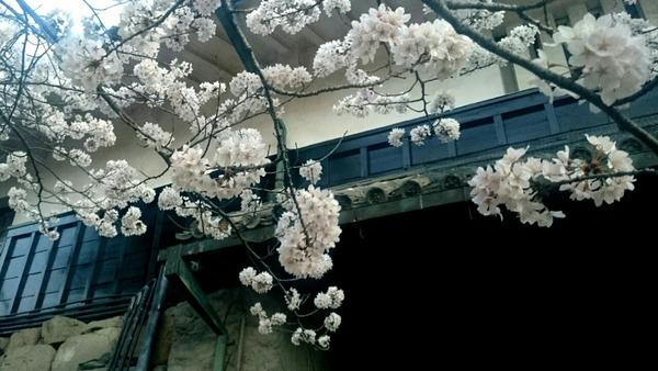 松本城は桜のよそおい♪