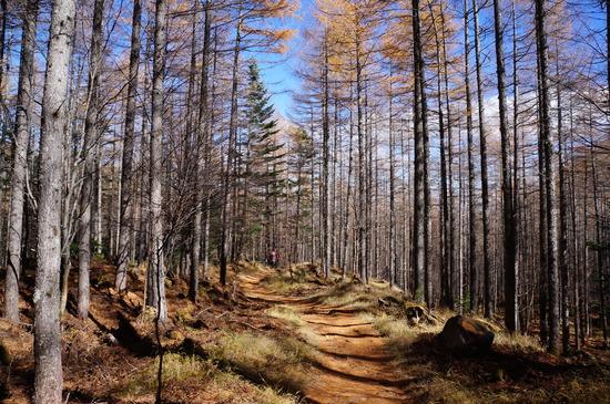 唐松の落ち葉が気持ち良い登山道♪