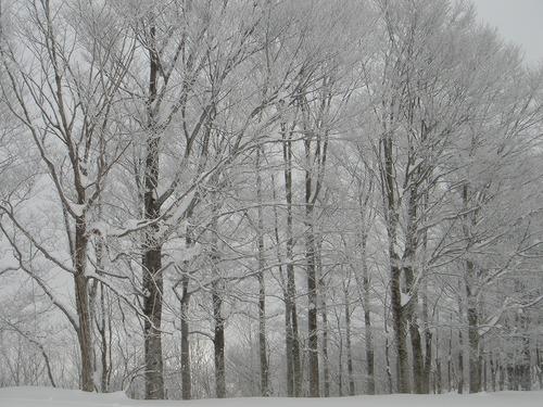 ブナの雪化粧