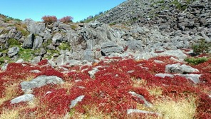 チングルマの紅葉(白馬大池山荘の近く)