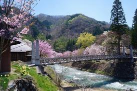 大出の吊橋と桜