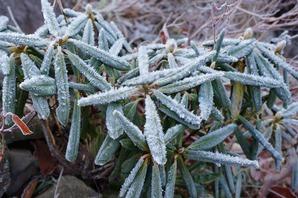 前日の雨が凍ったシャクナゲの葉っぱ