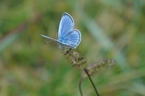 季節外れの蝶・ミヤマシジミ