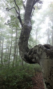 """""""ねずこの森""""にある通称「うまブナ」"""