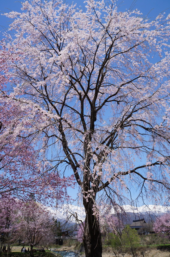 大出公園の枝垂桜
