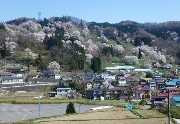 小川村の山桜が見事!