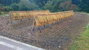 収穫した稲の「はざ架け」