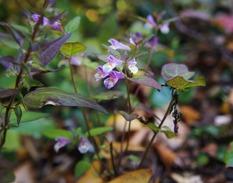 ミヤマママコナの花