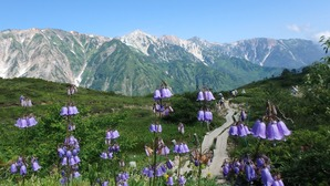 ハクサンシャジン(キキョウ科)と白馬三山