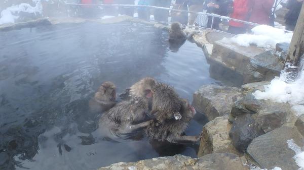 温泉に浸かるニホンザルたち