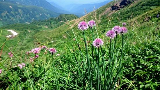 雪倉岳からの下りで咲くシロウマアサツキ