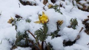 福寿草が雪をかぶって寒そう