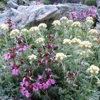 ヨツバシオガマ(紫)とハハコヨモギ(白)
