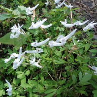 珍しい白花のジロボウエンゴサク(だと思う)
