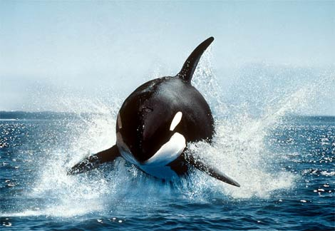 orca-killer-whale