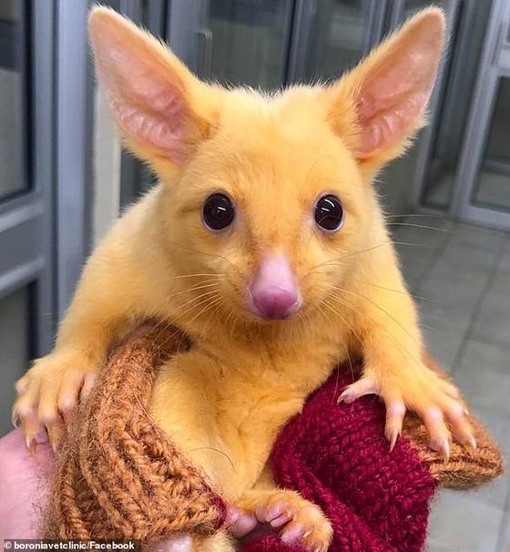 【話題】オーストラリアで希少種の「ピカチュウ」が発見される (画像)