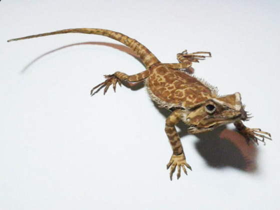 lifelike_bearded_dragon_made_out_of_cardboard_640_02