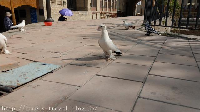 ウズベキスタンの鳩