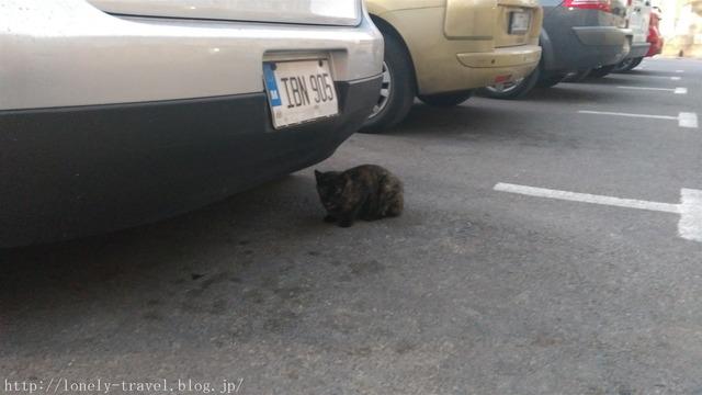 マルタ猫 Malta Cat