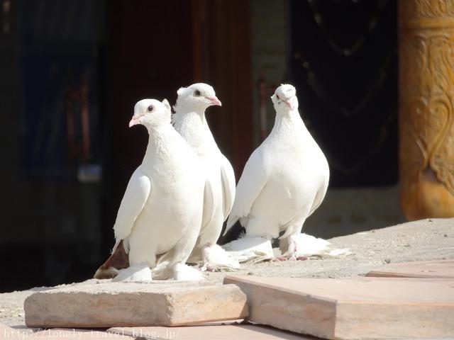 ウズベキスタンの鳩 ブハラ