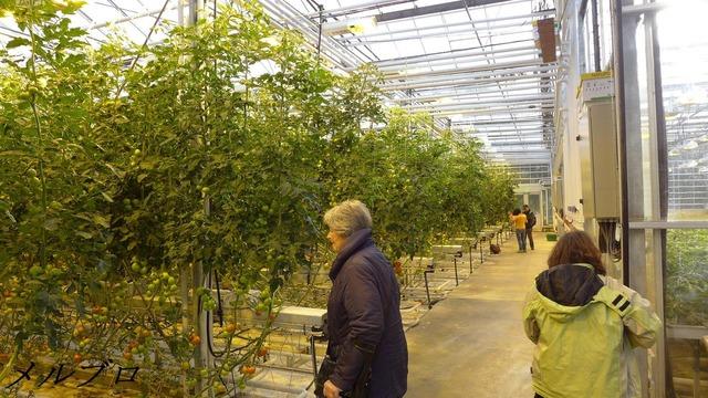 スカルフォルトのトマト温室