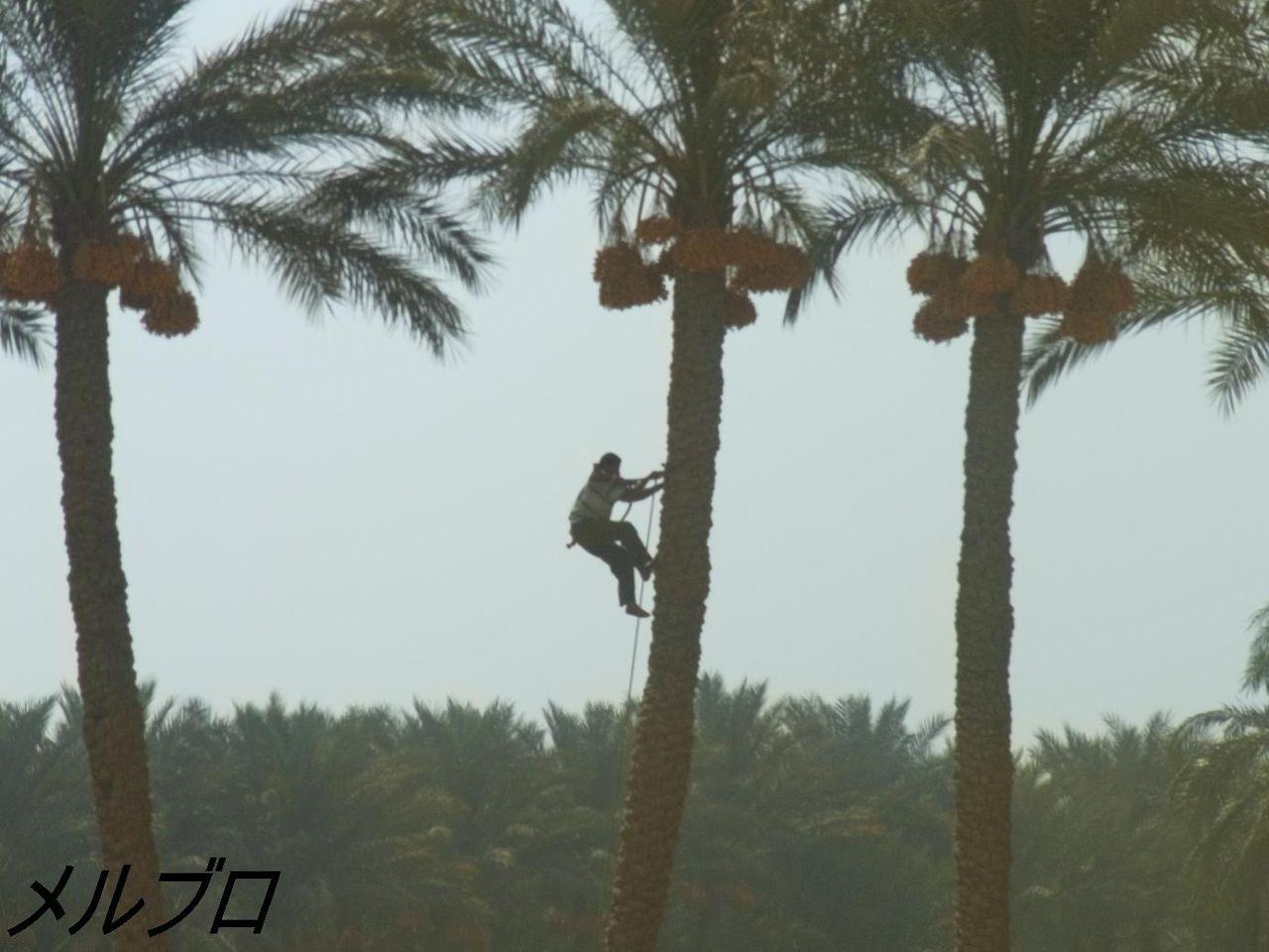 ナツメヤシの木に登る人