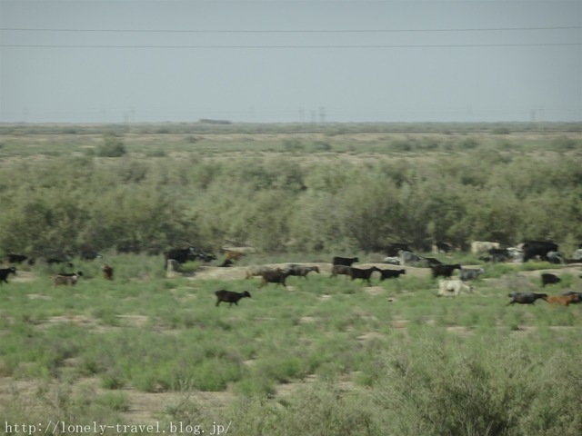 ウズベキスタンの牛