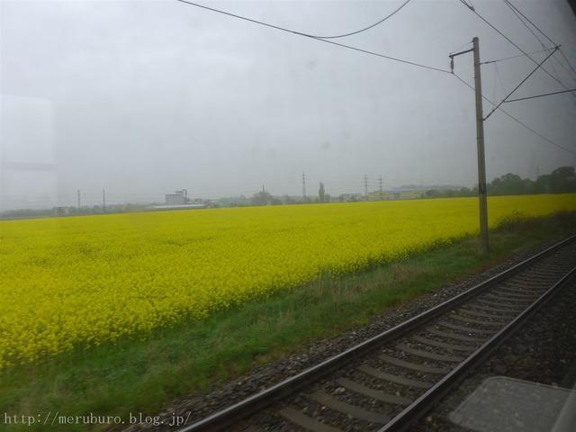 チェコの菜の花畑