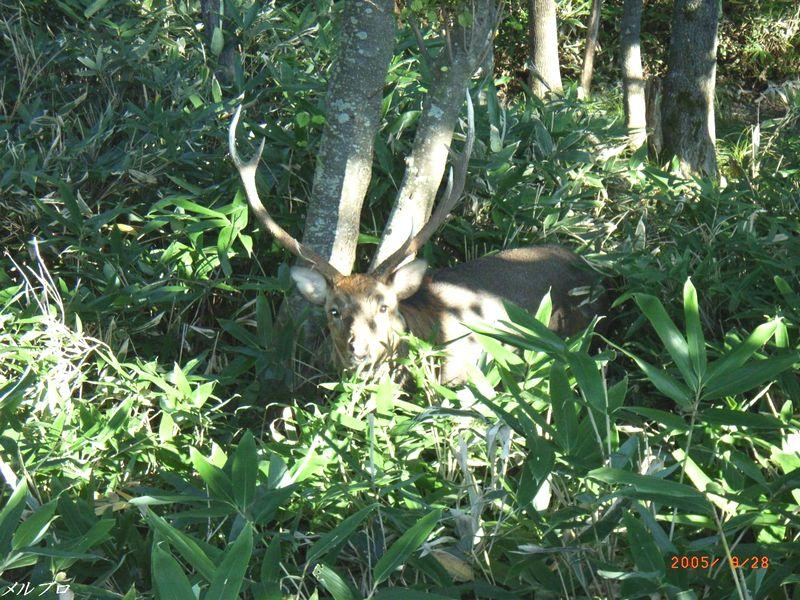 撮られまくりの鹿