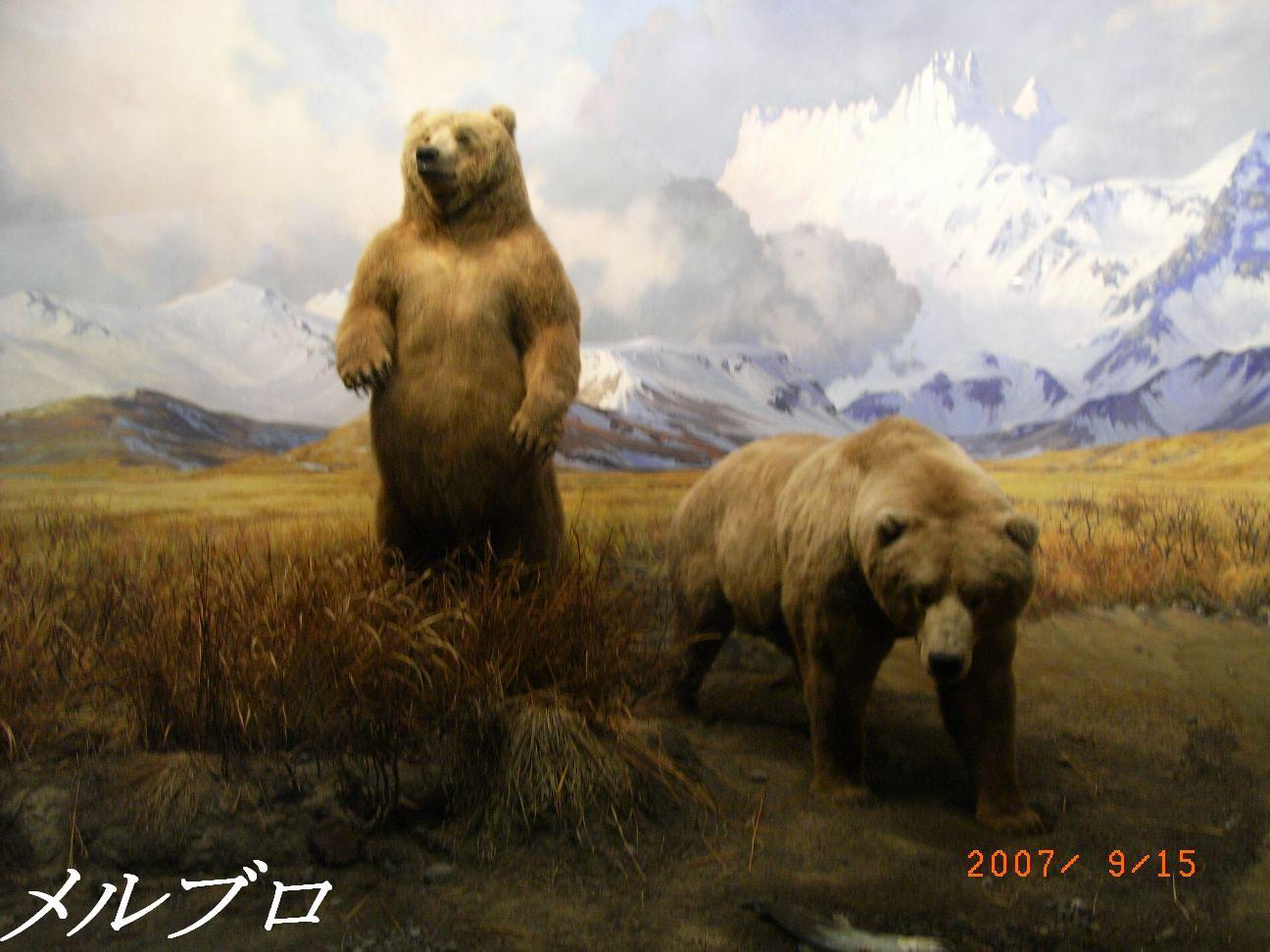北米哺乳類 の熊ー