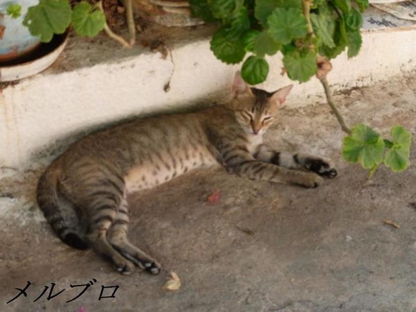 ポロス島の猫