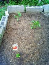 ミニトマト&ハバネロ