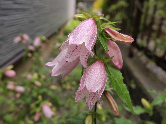 ホタルブクロ(ピンク 濃)