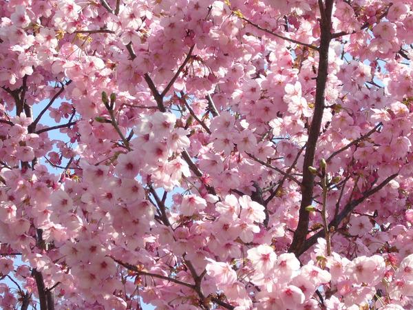 曲名「桜」