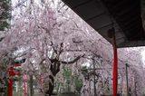 水火天満宮紅枝垂桜2対