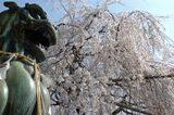 狛犬大石桜を睨むの図