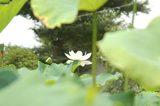 葉陰より白い蓮DSC_0095